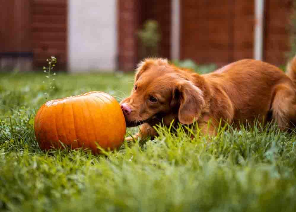 правилно-хранене-за-кучета-пораснали-кучета